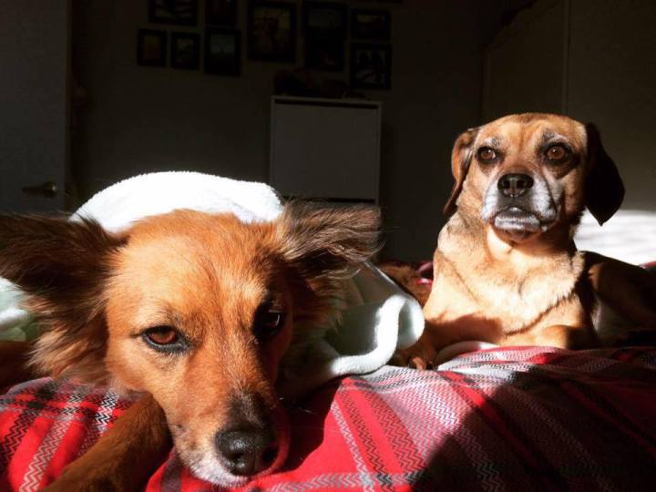 Our rescue dogs relaxing on the bed.